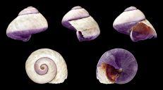Common purple sea snail (Janthina janthina). Image: H Zell (CC 4)